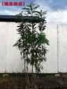 【現品発送】ヒメユズリハ株立樹高1.8m-2.8m(根鉢含まず)【大型商品・配達日時指定不可】