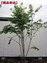 【現品発送】ツリバナ 樹高2.2-2.5m(根鉢含まず)【大型商品・配達日時指定不可】