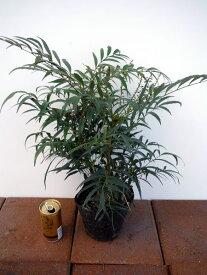 マホニアコンフーサ 細葉ヒイラギナンテン 5号ポット 高さ30cm前後(根鉢含まず)
