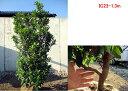 【現品発送】赤花ヒメイチゴノキ(いちごの木)ストロベリーツリー樹高1.1m-1.5m(根鉢含まず)ボリューム株 シンボルツ…