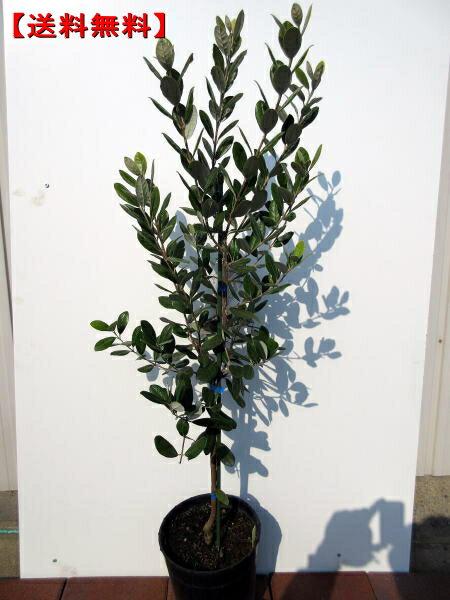 【送料無料】フェイジョア(アポロ)つぎ木苗 樹高1.0m(根鉢含まず)前後