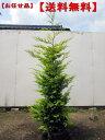 【送料無料】ゴールドライダーコニファー樹高1.5m以上(根鉢含まず)