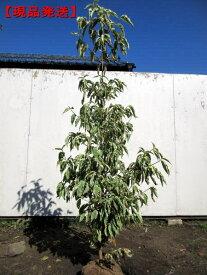 【現品発送】斑入りヤマボウシ(ウルフアイ)  樹高1.7m-1.9m(根鉢含まず)【大型商品・配達日時指定不可】