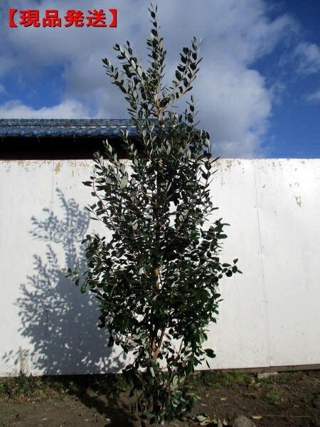 【現品発送】フェイジョア(アポロ)実のなる特大サイズ!樹高1.5-1.9m(根鉢含まず)