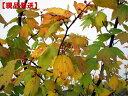 【現品発送】シロモジ 株立樹高2.0-2.5m(根鉢含まず) シンボルツリー 庭木 植木 落葉樹 落葉高木
