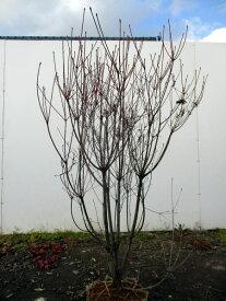 【送料無料】ベニサラサドウダンツツジ(紅更紗ドウダン)樹高1.2m前後(根鉢含まず)