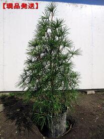 【現品発送】コウヤマキ(高野槙、高野槇)樹高1.0m-1.2m(根鉢含まず) シンボルツリー 庭木 植木 常緑樹 常緑高木