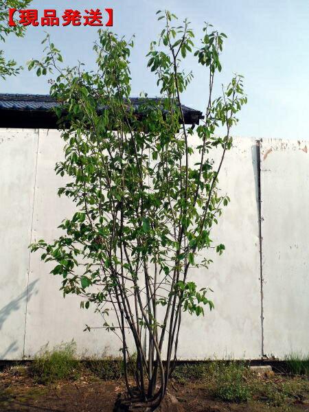 【現品発送】ジューンベリー (ラマルキー)株立樹高1.7-2.1m(根鉢含まず)【大型商品・配達日時指定不可】極