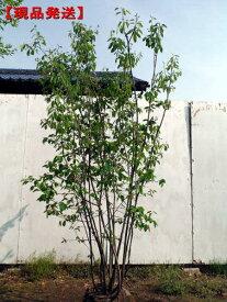 【現品発送】ジューンベリー (ラマルキー)株立樹高1.8-2.0m(根鉢含まず)【大型商品・配達日時指定不可】極
