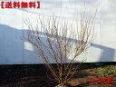 【送料無料】二本セット特大ピンクユキヤナギ 樹高0.8m(根鉢含ま)