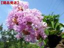 【現品発送】サルスベリ(百日紅)紫花樹高2.5-2.7m(根鉢含まず)【大型商品・配達日時指定不可】