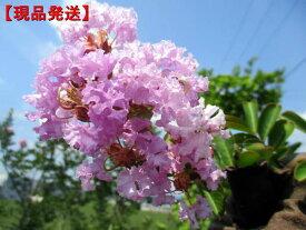 【現品発送】サルスベリ(百日紅)紫花樹高1.6-2.0m(根鉢含まず)