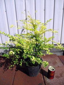 プリペット レモンアンドライムお庭のワンポイントトや生垣に最適 5号ポット 樹高30cm前後 花木 庭木 植木 常緑樹 常緑低木