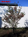 【現品発送】ウメモドキ 樹高1.6-1.8m(根鉢含まず)【大型商品・配達日時指定不可】