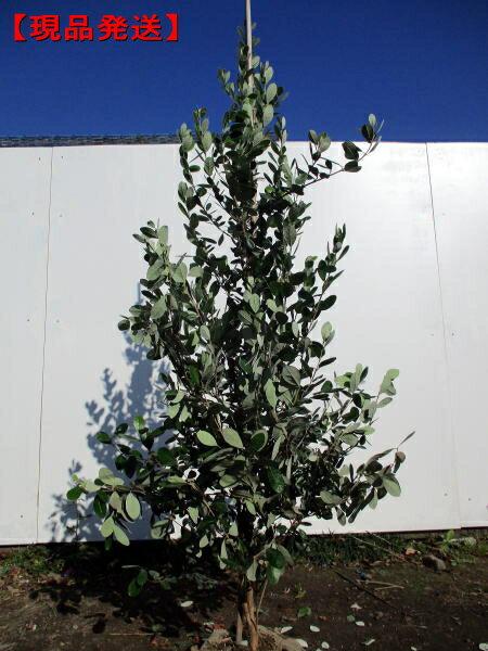 【現品発送】フェイジョア(アポロ)実のなる特大サイズ!樹高1.7-1.9m(根鉢含まず)【大型商品・配達日時指定不可】