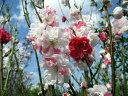 【現品発送】シダレハナモモ 枝垂れ源平桃(シダレゲンペイモモ) 樹高1.7-1.8m(根鉢含まず) シンボルツリー 庭木…