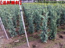 【送料無料】ブルーアイスコニファー樹高1.5m以上(根鉢含まず)