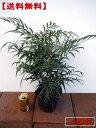 【送料無料】マホニアコンフーサ 5本セット (細葉ヒイラギナンテン)5号ポット 高さ25cm前後(根鉢含まず) 花木 庭木 植木 常緑樹 常緑低木