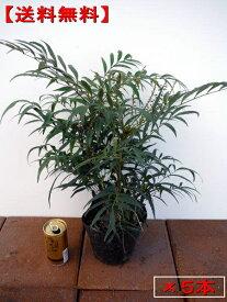 【送料無料】マホニアコンフーサ 5本セット (細葉ヒイラギナンテン)5号ポット 高さ30cm前後(根鉢含まず)