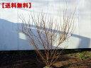 【送料無料】特大ピンクユキヤナギ 樹高1.0m以上(根鉢含まず)