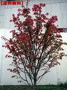 【送料無料】ニシキギ 樹高1.5m前後(根鉢含まず) 花木 庭木 植木 落葉樹 落葉低木