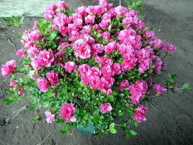 【送料無料】珍しい四季咲きツツジがこのボリューム(特大6号鉢) 鉢植え 花木 庭木 植木 常緑樹 常緑低木