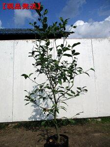 【現品発送】特大レモンの木 リスボン樹高1.6m-1.9m(根鉢含まず) 果樹苗 シンボルツリー 庭木 植木 常緑樹 常緑高木