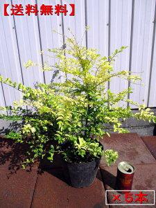 【送料無料】5本セットプリペット レモンアンドライム 5号ポット 樹高30cm前後 庭木 植木 常緑樹 常緑低木