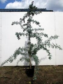 【送料無料】ギンヨウアカシア(プルプレア)樹高2.0m前後(根鉢含まず)7号鉢