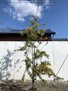 【送料無料】ギンヨウアカシア(プルプレア)樹高1.8m(根鉢含まず)7号鉢 シンボルツリー 庭木 植木 常緑樹 常緑高木