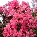 【現品発送】サルスベリ(百日紅)ピンク花樹高2.0-2.4m(根鉢含まず) シンボルツリー 庭木 植木 落葉樹 落葉高木