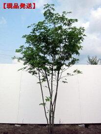 【現品発送】アオダモ 株立樹高1.9-2.3m(根鉢含まず)シンボルツリー 庭木 植木 落葉樹 落葉高木