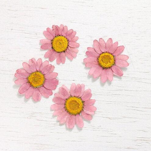 【押し花】4枚 ノースポール  《ピンク》 [花,はな,ドライフラワー,flower,マーガレット,さくら,サクラ,桜]