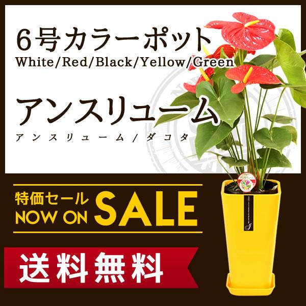 【送料無料】アンスリューム/アンスリウム ダコタ(約75cm)6号カラーポット(白色/赤色/黄色/緑色/黒色)ハート型の花をつけたトロピカルな雰囲気の人気の観葉植物【送料込/大型/インテリア/鉢/おすすめ/安い/おしゃれ/激安/ギフト】