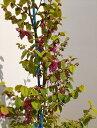 80cm 10本セット 人気生垣 シンボルツリー【トキワマンサク(青葉赤花)『10本セット』樹高0.8m前後】