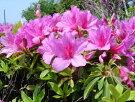 ヒラドツツジ(オオムラサキ)花