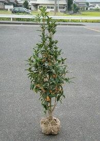 120cm シンボルツリー 秋の花木 金木犀【キンモクセイ 樹高1.2m前後】