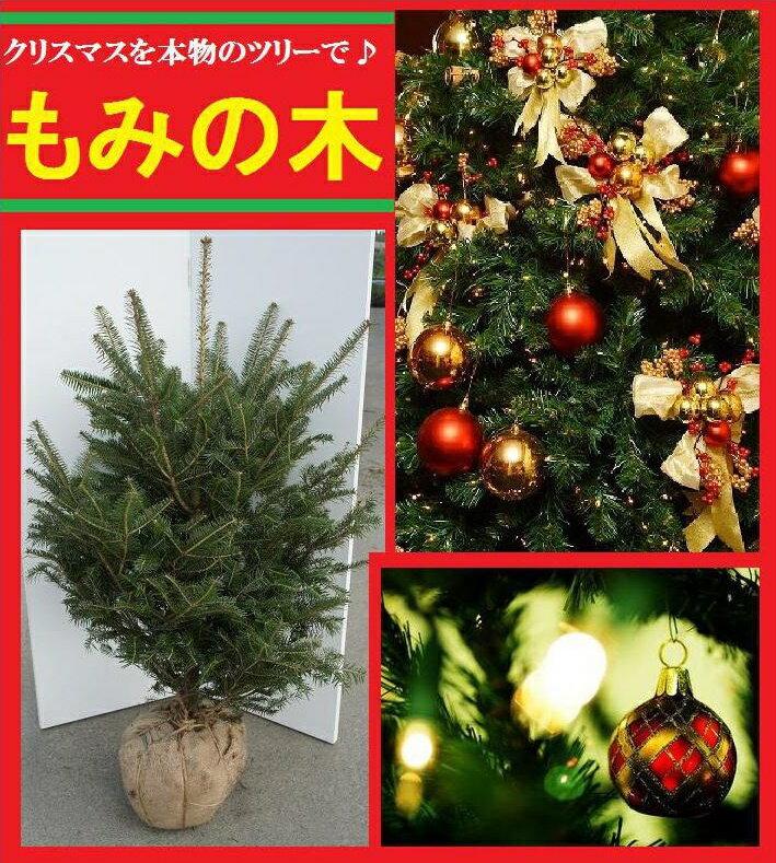 送料無料 クリスマスツリー 本物 国産 もみの木 150cm  シンボルツリー【モミノキ(ウラジロモミノキ) 樹高1.5m前後】