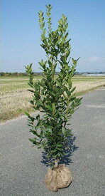 送料無料 150cm シンボルツリー 生垣 有名スパイス【月桂樹(ローリエ) 樹高1.5m前後】