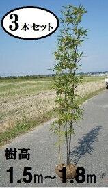 送料無料 150cm 180cm 3本セット 和風モダン 坪庭 庭木 シンボルツリー 常緑樹 大型【黒竹(格安)『3本セット』樹高1.5m〜1.8m】