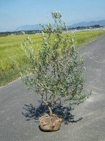 送料無料 シンボルツリー 収穫果樹 実がつく常緑樹 150cm【オリーブ 樹高1.5m前後】