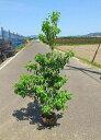 送料無料 シンボルツリー 和風 庭木 150cm【ソヨゴ株立ち 樹高1.5m前後】