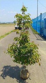 送料無料 150cm 人気シンボルツリー 庭木 常緑樹 大型【常緑ヤマボウシ(ホンコンエンシス) 樹高1.5m前後】