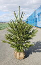 80cm クリスマスツリー シンボルツリー【ドイツトウヒ 樹高0.8m前後】