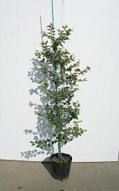 150cm 5本セット 人気生垣【トキワマンサク(青葉白花)『5本セット』 樹高1.5m前後】