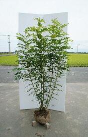 送料無料 人気シンボルツリー 120cm 常緑樹【シマトネリコ 株立 樹高1.2m前後】