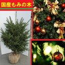 送料無料 150cm クリスマスツリー 本物 国産 もみの木  シンボルツリー【モミノキ(ウラジロモミノキ) 樹高1.…