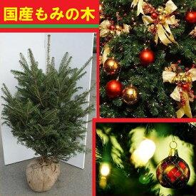 送料無料 120cm クリスマスツリー 本物 国産 もみの木 シンボルツリー【モミノキ(ウラジロモミノキ) 樹高1.2m前後】