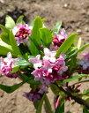 40cm 赤 シンボルツリー 庭木 花木 鉢植え【ジンチョウゲ(沈丁花)赤花 樹高0.4m前後】