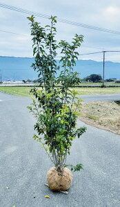 送料無料 150cm シンボルツリー 和風 庭木【ソヨゴ株立ち 樹高1.5m前後】